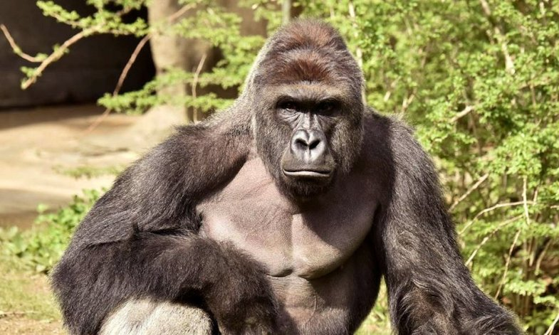 Harambe, the almighty