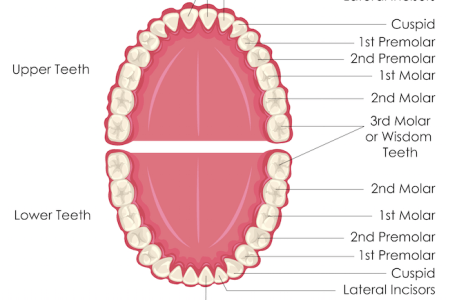 Pictures of teeth with labels full hd maps locations another teeth diagram with label coordstudenti human tooth diagram illustrated teeth diagram labels stock illustration illustrated teeth diagram with labels ccuart Image collections