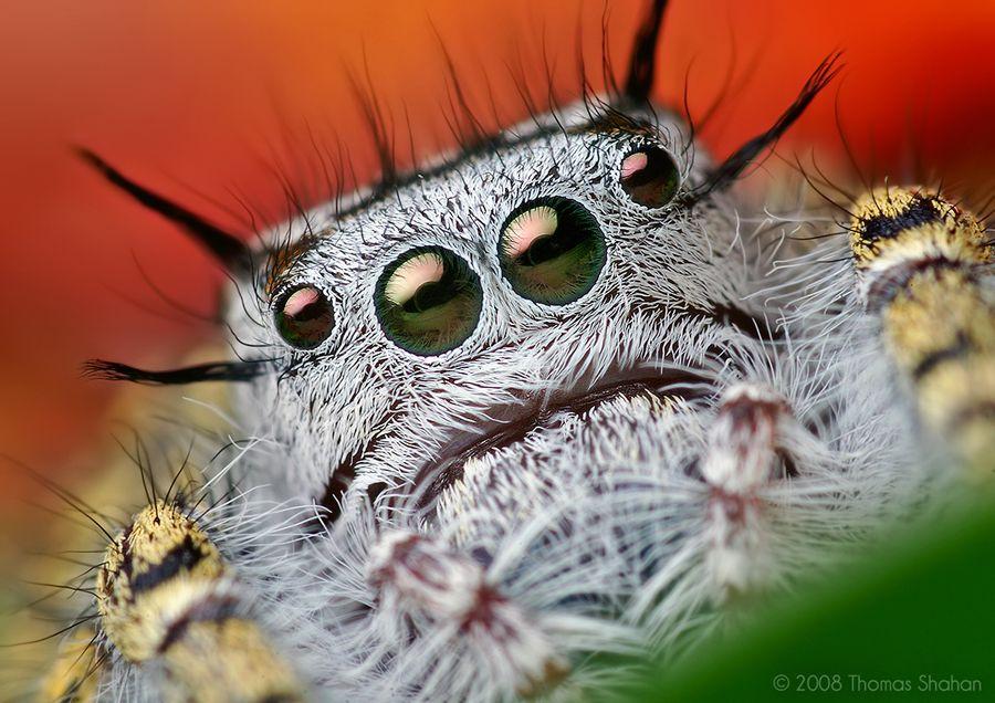 Macro Photography Mystaceus Spider