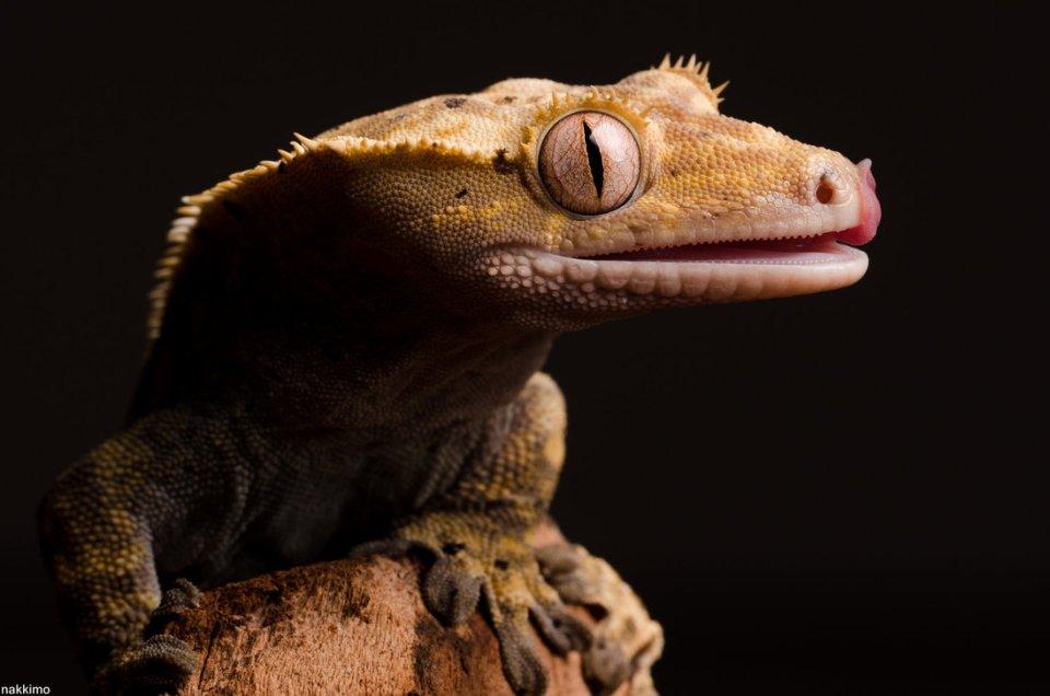 Cute Gecko Face photos 3