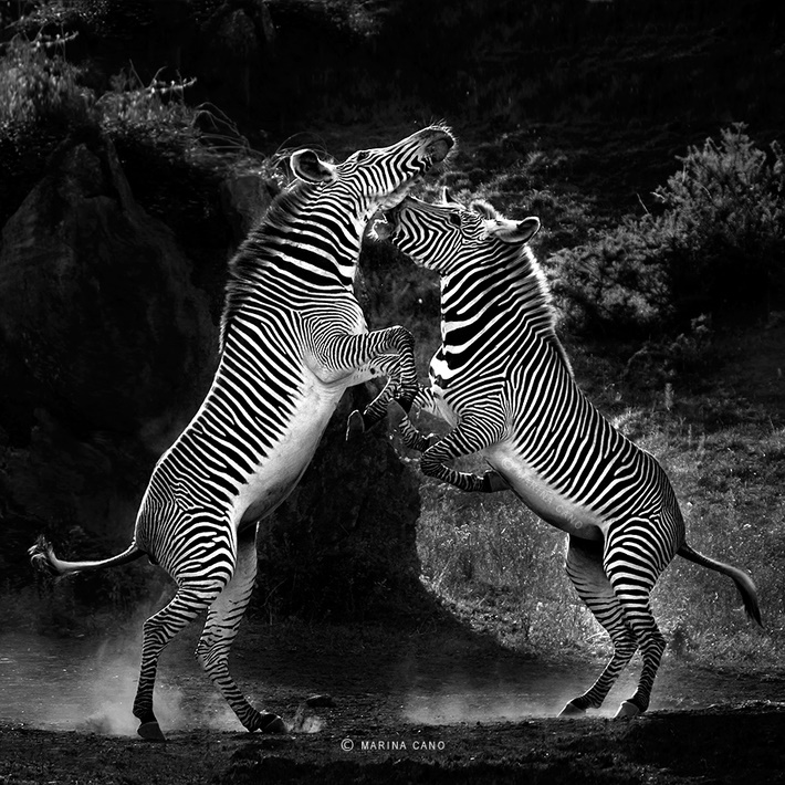 Black an white wild animals photography by Marina Cano 01