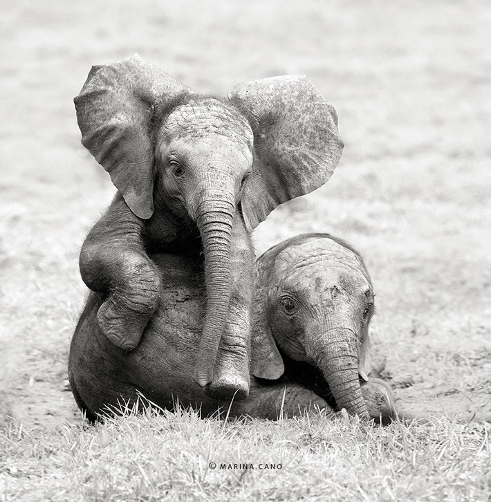 Cute elephants wild animals photography by Marina Cano 01