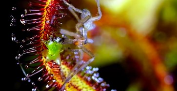 Macro Photos of Carnivora Gardinum Plant by Chris Field