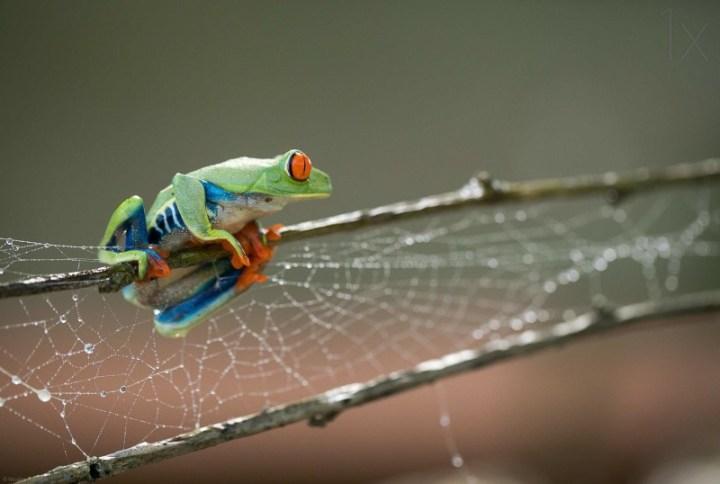 Macro photos of frog by Nicolas-Reusens 07