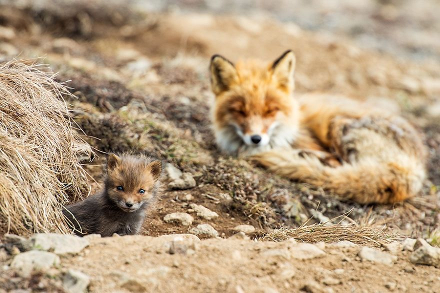 Amazing Foxes Photograph In The Arctic Circle by Ivan Kislov