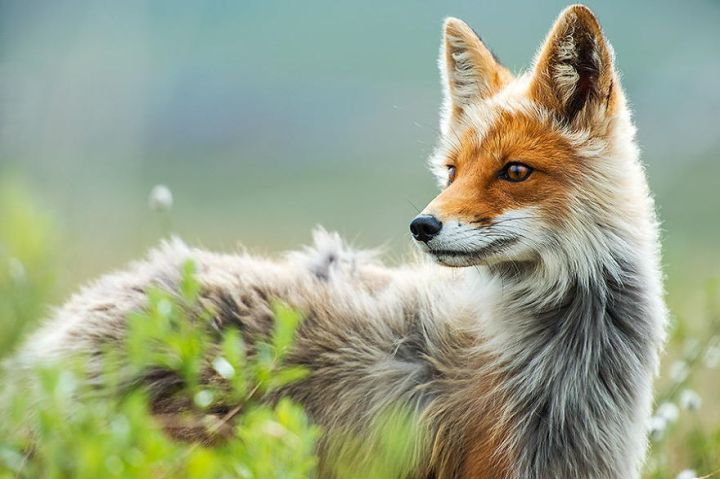 Beauty Foxes Photography In The Arctic Circle by Ivan Kislov