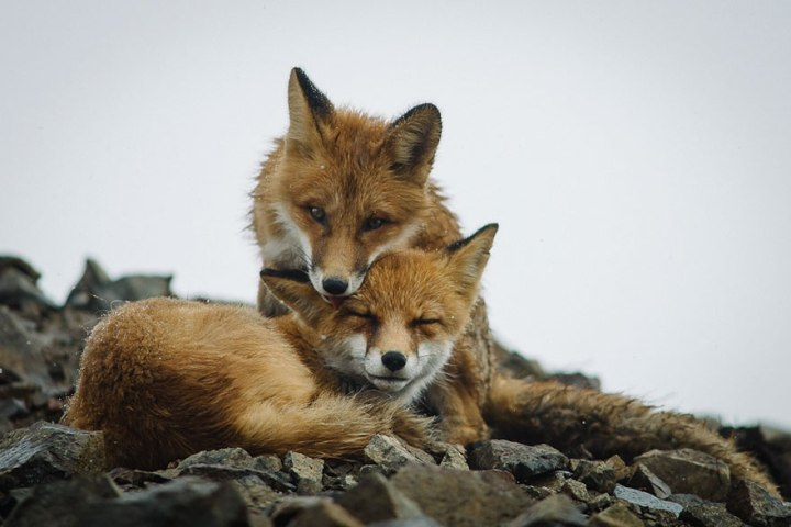 Best Photoshoot of Life Foxes In The Arctic Circle by Ivan Kislov 05