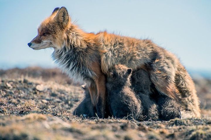 Life of Foxes Family In The Arctic Circle by Ivan Kislov