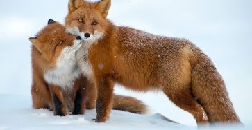 Best Photoshoot of Foxes Life In The Arctic Circle by Ivan Kislov