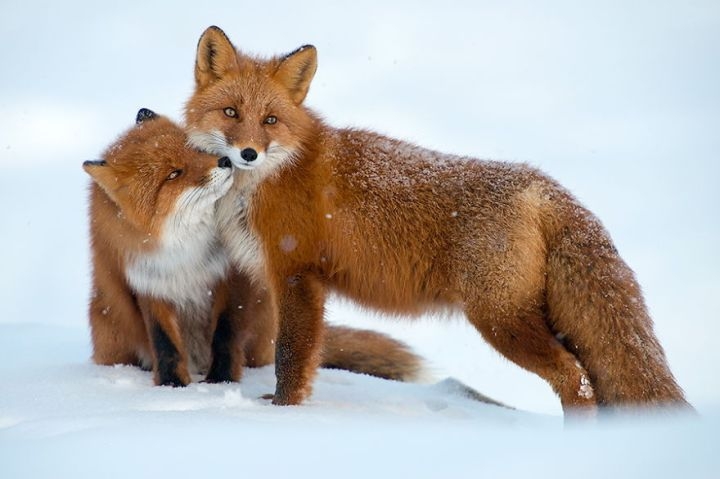 Wonderful Foxes Photography In The Arctic Circle by Ivan Kislov