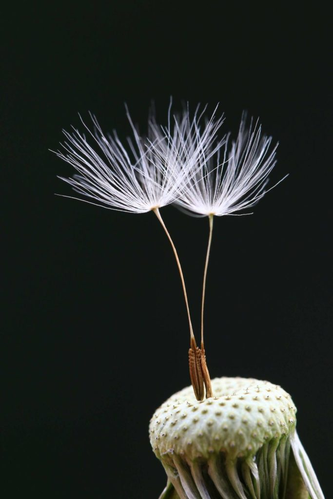 Minghui Yuan's macro shot of dandelion seeds