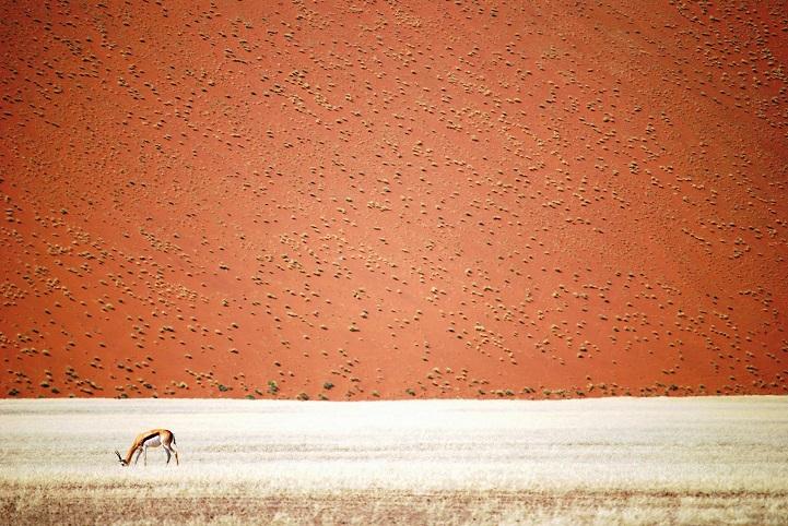 Springbok in front of a dune of namibian desert