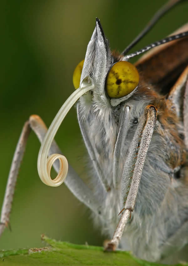 Stunning Insect Macro Photography by Blepharopsis 99