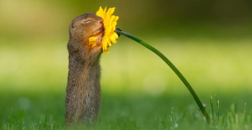 Dick van Duijn Captured an Beautiful Moment of Ground Squirrel and a Yellow Flower