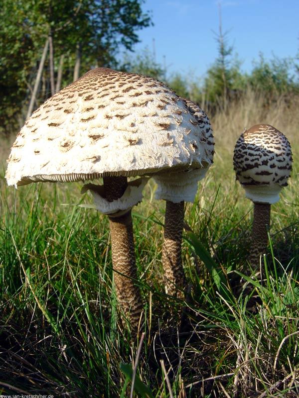 Gljiva sunčanica - jestiva gljiva ugodnog okusa