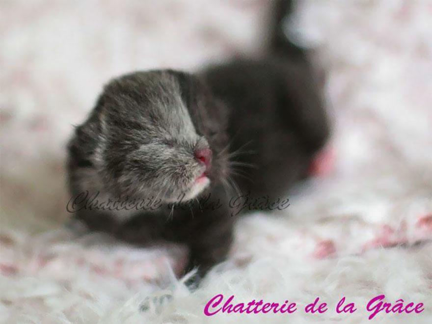 two-faced-cat-british-short-hair-france-jean-michel-labat-2-9mood