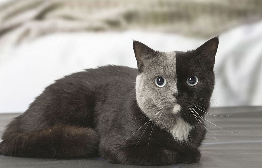 two-faced-cat-british-short-hair-france-jean-michel-labat-9Mood-13