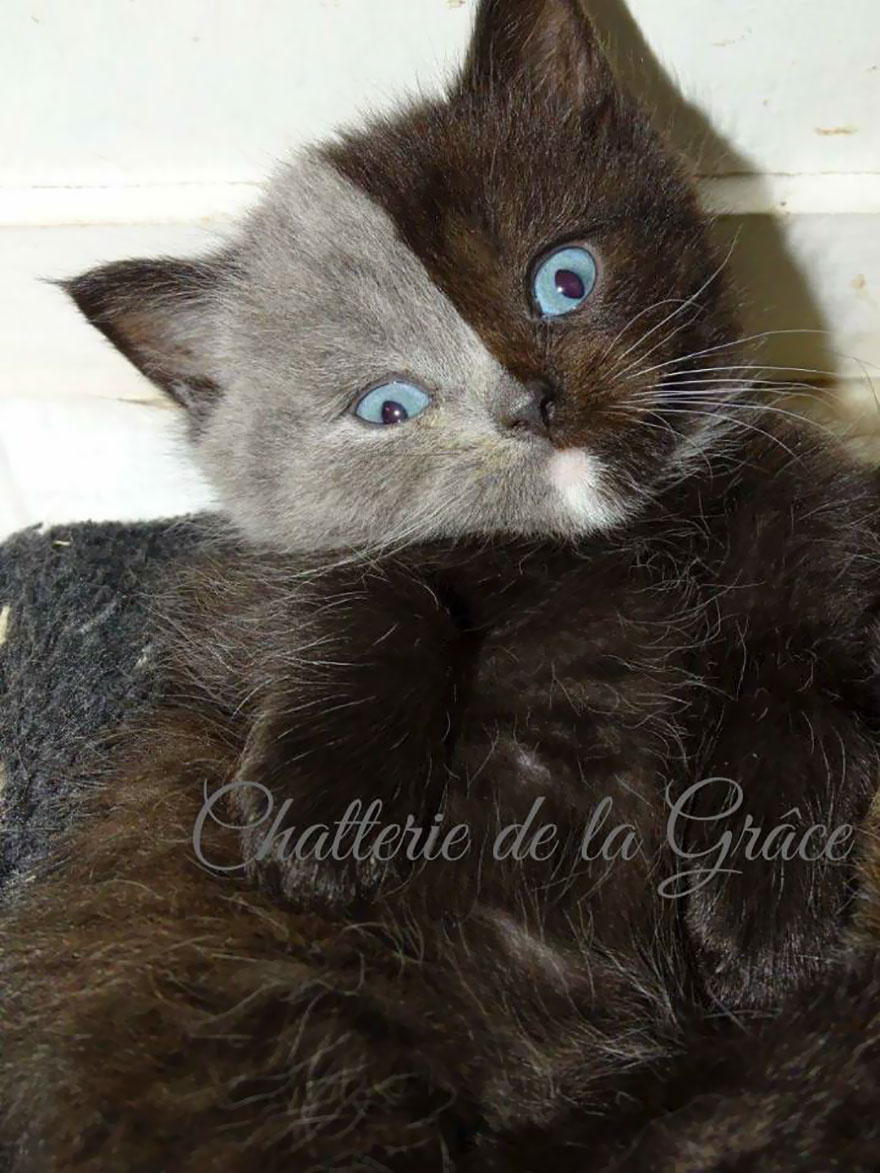 two-faced-cat-british-short-hair-france-jean-michel-labat-9Mood-14