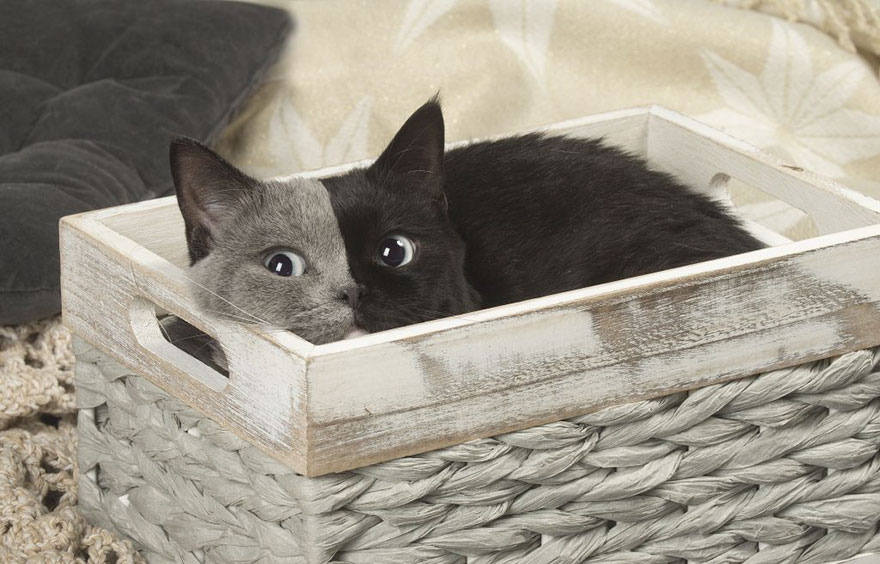 two-faced-cat-british-short-hair-france-jean-michel-labat-9Mood-8