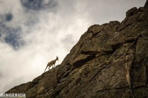 Big Horn Sheep above Summit Lake