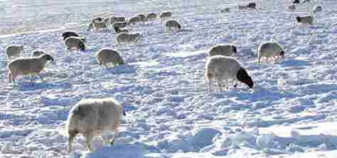 During a Mongolian 'dzud', animals starve because they cannot dig through a thick, solid layer of ice to reach food