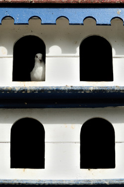 racing pigeons in their nest boxes
