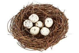 racing pigeon nest with eggs