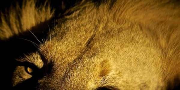 singapore zoo lion