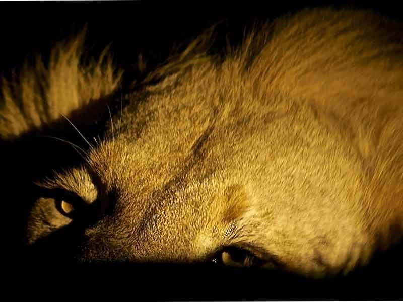 Singapore night safari - lion - laidbacktraveller.com
