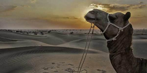 jaisalmer camel sand dune