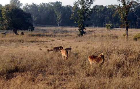 samba deer kanha national park tiger wild life safari laid back traveller