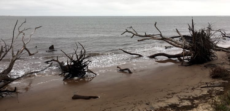 giant driftwood trees at Boneyard Beach in Amelia Island Florida