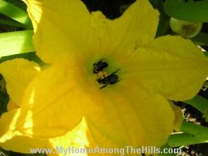 Bumblebees in yellow squash flower