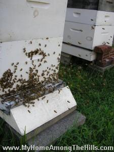 honeybees flying at front of hive