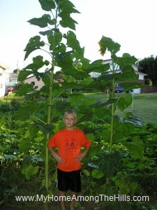 Isaac in sunflowers