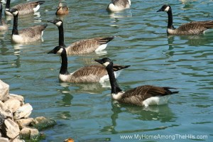 Cookskin park's geese