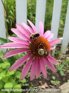 Bumblebees on coneflower