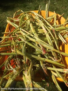 Some of the crushed sorghum canes