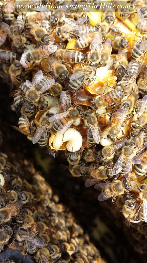Drone pupae and worker bees