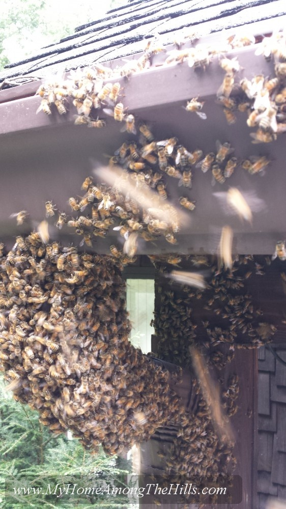 A late-season swarm of bees