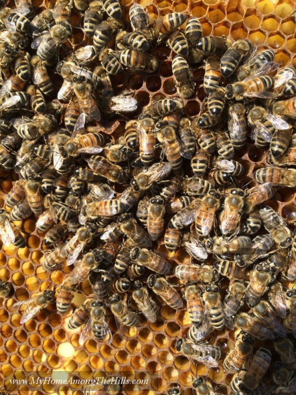 Healthy honeybees on comb