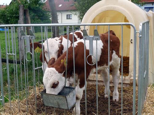 Hornlose Rinder