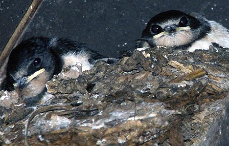 wpid-468Rauchschwalben-stehen-auf-bio-2011-06-17-05-59.jpg