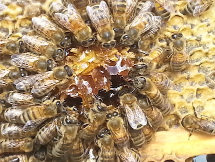 NSL_151_bees