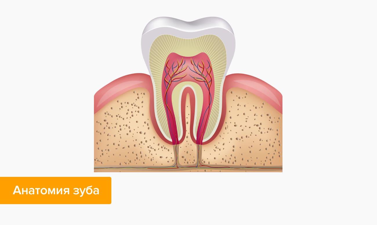 Anatomy tand i billeder