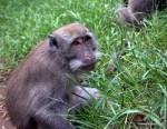 Monkeys (macaques) at Ulu Watu, Bali, Indonesia