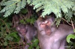 Can I help you? Monkeys in Bali macaques