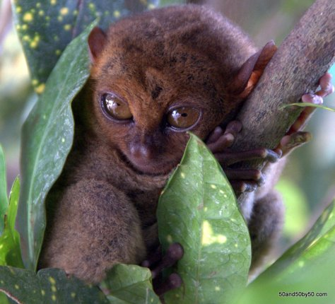 Philippine Tarsier wrapped up in a bed of leaves, in Bohol, Philippines