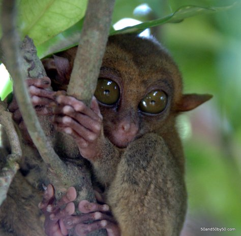 Philippine Tarsier have little tiny hands and feet | Photo taken in Bohol, Philippines
