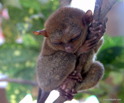 Sleeping tarsiers - they're nocturnal primates   Bohol, Philippines   Photo by Todd Cohen   50and50by50.com
